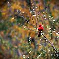 Cardinal In Autumn by Karen Adams