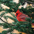 Cardinal In Balsam by Susan Capuano