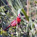 Cardinal In Bush Iv by Vernis Maxwell