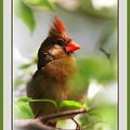 Cardinal In Dogwood by Travis Truelove