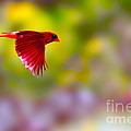 Cardinal In Flight by Dan Friend
