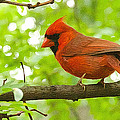 Cardinal In Red by Alice Gipson