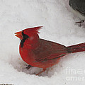 Cardinal In Snow by Linda L Martin