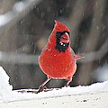 Cardinal In Snowstorm by MTBobbins Photography