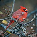 Cardinal In The Berries by Kerri Farley