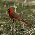 Cardinal In The Field by Jan M Holden