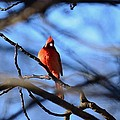 Cardinal In The Midst by Maria Urso