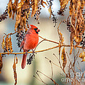 Cardinal In The Pokeberries by Kerri Farley