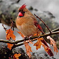 Cardinal In The Rain by Karen Beasley