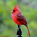 Cardinal In The Rain by Mary Williamson