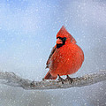 Cardinal In The Snow by Jai Johnson