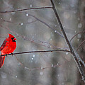 Cardinal In The Snow by Karol Livote
