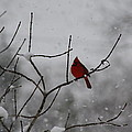 Cardinal In The Snow by Tia Patton