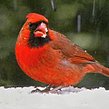 Cardinal In The Snowstorm by Sandi OReilly