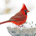 Cardinal In Winter by Hal Halli