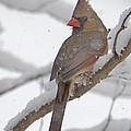 Cardinal In Winter by Jim Rettker