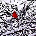 Cardinal by Irfan Gillani