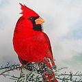 Cardinal by Laurel Best