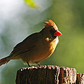 Cardinal Light by Jenny Gandert