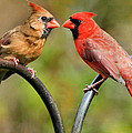 Cardinal Love by Kristin Elmquist