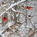 Cardinal Meeting In The Snow by Betsy Knapp