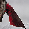 Cardinal 1 by Mim White