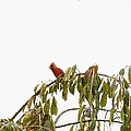 Cardinal On A Branch by Sonali Gangane