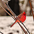 Cardinal On A Winter Day II by Michael Whitaker