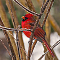 Cardinal On A Winter Day by Michael Whitaker
