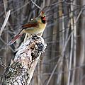 Lady Cardinal by Pat Eisenberger