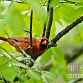 Cardinal Pictures 138 by World Wildlife Photography