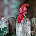 Cardinal by Randy Matthews