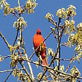 Cardinal Red by Deborah Flusberg