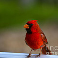 Cardinal Red by Mike  Dawson