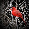 Cardinal Red With Black by MTBobbins Photography
