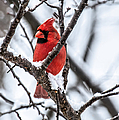 Cardinal Snow Scene by Lara Ellis