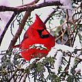 Cardinal Snowbound by William Fox