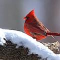 Cardinal by William Stewart