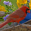 Cardinal With Pansies by Debbie Portwood