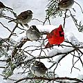Cardinal With White Throated Sparrows by William Fox