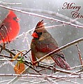Cardinals - Male And Female - Img_003card by Travis Truelove
