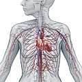Cardiovascular System Female by Science Picture Co
