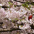 Cardnel In A Cherry Tree by Nicholas Hall
