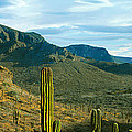 Cardon Cactus Plants At Hillside by Panoramic Images