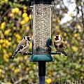 Carduelis Carduelis 'goldfinch' by Vix Edwards