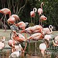 Caribbean Flamingos - Phoenicopterus Ruber Ruber by Jason O Watson