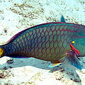 Caribbean Stoplight Parrot Fish In Rainbow Colors by Amy McDaniel