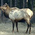 Elk Side Profile - Banff, Alberta by Ian Mcadie