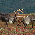 Caribou Males Sparring by Matthias Breiter