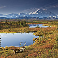 Caribou On Tundra In Denali by John R DeLapp